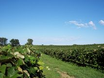 Grape Vineyard View. A grape vineyard in southern Michigan in the summer Royalty Free Stock Image