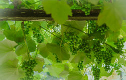 Grape in the vineyard. White vignette Royalty Free Stock Photo