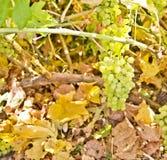 Grape in vineyard Stock Images
