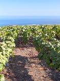 Grape vineyards Royalty Free Stock Photo