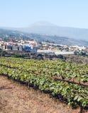 Grape vineyards Stock Images