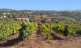 Grape vineyards Stock Photography