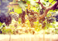 Grape in vineyards. Morning view of the grape in vineyards at sunshine stock images