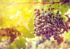Grape in vineyards Royalty Free Stock Photo