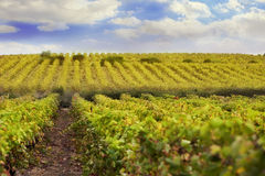 Grape vineyards in france. Grape vineyards with blue sky and white clouds, sunny weather Stock Photography