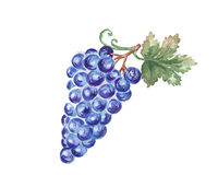 The grape watercolor  painting watercolor  Royalty Free Stock Image