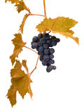 Grape on the white Royalty Free Stock Photography