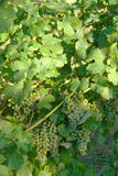 Grape of wine. Grapes and leafes of grapevine Royalty Free Stock Image