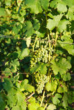 Grape wine. Grapes and leafes of grapevine Royalty Free Stock Photos