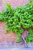 Grape wine on brick wall Royalty Free Stock Photo