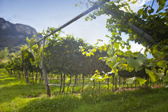 Grape wine land countryside landscape background of hills with mountain backdrop in Italy Stock Photo