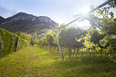 Grape wine land countryside landscape background of hills with mountain backdrop in Italy Stock Photos