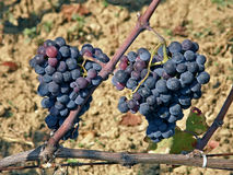 Grape wine merge. Two clusters of grapes hanging down Stock Images