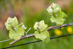 Grape wine sprouts Royalty Free Stock Image