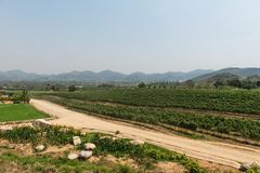 Grape wine vine yard green field in south of Thailand Royalty Free Stock Photography