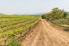 Grape wine vine yard green field in south of Thailand Stock Image