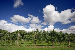 Grape wines. Grape vines and blue sky at a winery Royalty Free Stock Photos