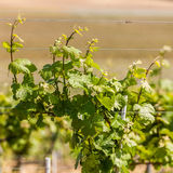 Grape wines with in the vineyard stock photo