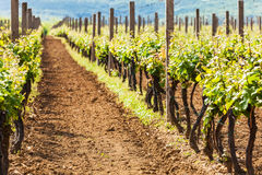Grape wines with in the vineyard Royalty Free Stock Photos