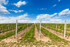 Grape wines with in the vineyard royalty free stock photo