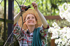 Grape, the woman pruned with dry vine vine. Stock Photography