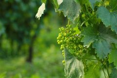 Grape. Young grape growing in lineage royalty free stock images