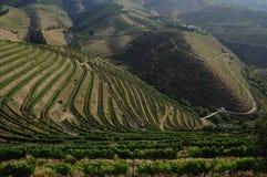Grapefield Douro dal Arkivbilder