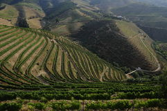 Grapefield, Douro valley stock images