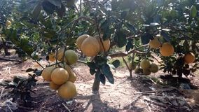 grapefruit Imagens de Stock Royalty Free
