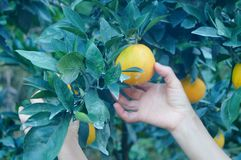 Citrus pomelo grows in the orchard. Grapefruit and citrus grow in the orchard. In Hunan, China royalty free stock photography