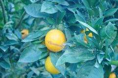 Citrus pomelo grows in the orchard. Grapefruit and citrus grow in the orchard. In Hunan, China royalty free stock image