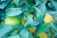 Citrus pomelo grows in the orchard. Grapefruit and citrus grow in the orchard. In Hunan, China stock photography