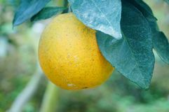 Citrus pomelo grows in the orchard. Grapefruit and citrus grow in the orchard. In Hunan, China royalty free stock images