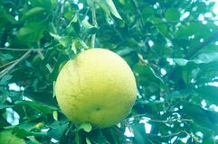 Citrus pomelo grows in the orchard. Grapefruit and citrus grow in the orchard. In Hunan, China royalty free stock photos