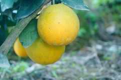 Citrus pomelo grows in the orchard. Grapefruit and citrus grow in the orchard. In Hunan, China stock photos