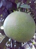 Grapefruit. Eat background exotic food isolated juicy leaf peel nature sweet sweetie tasty tropical white Royalty Free Stock Image