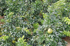 Grapefruit forest Stock Images