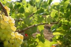 Grapefruit golden vineyard fields in summer. Spain royalty free stock photo
