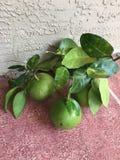 Grapefruit Greeneey Stock Afbeelding