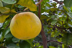 Grapefruit Growing on Tree Royalty Free Stock Photography