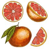 Grapefruit, half of fruit, slice. Full color realistic sketch Stock Photos