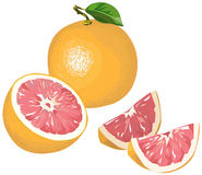 Grapefruit with half and wedges. Illustration of pink grapefruit with half, leaf and wedges Royalty Free Stock Images
