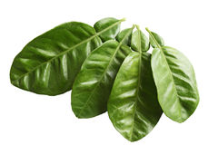 Grapefruit Leaves Stock Photography