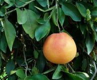 Grapefruit op een boom Royalty-vrije Stock Afbeelding