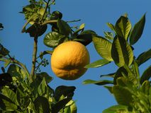 Grapefruit op een boom met blauwe hemel Royalty-vrije Stock Afbeeldingen