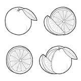 Grapefruit, Orange. Vector Illustration Hand Drawn Fruit Cartoon Art stock illustration