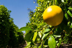 The grapefruit in the orchard. Royalty Free Stock Images