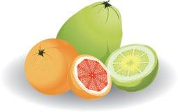 Grapefruit & pomelo royalty free illustration