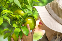 Farmer Checking Lemons Stock Photos