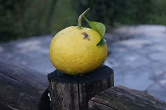 Grapefruit. Small yellow grapefruit in the garden Royalty Free Stock Image